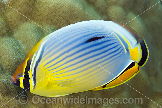 Redfin Butterflyfish (Chaetodon trifasciatus). Found from East Africa to Bali, Indonesia and Christmas Island (Australia). Photo was taken at Christmas Island, Australia. Photo - Gary Bell