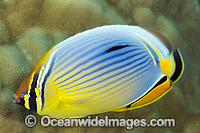 Redfin Butterflyfish Christmas Island Photo - Gary Bell