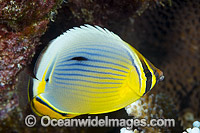 Redfin Butterflyfish Chaetodon trifasciatus Photo - Gary Bell