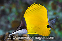Long-nose Butterflyfish Christmas Island Photo - Gary Bell