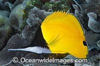 Very-long-nose Butterflyfish Photo - Gary Bell