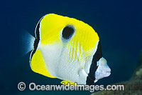 Teardrop Butterflyfish Christmas Island Photo - Gary Bell