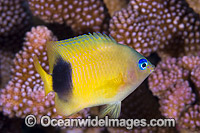 Johnston Damselfish Christmas Island Photo - Gary Bell