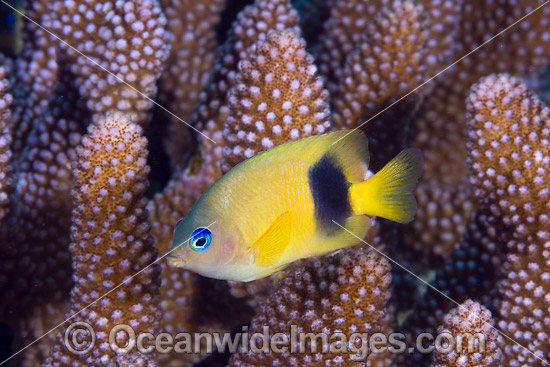 Johnston Damselfish (Plectroglyphidodon johnstonianus). Found throughout the Indo-West Pacific, including the Great Barrier Reef, Qld, Australia. Photo taken at Christmas Island, Australia.