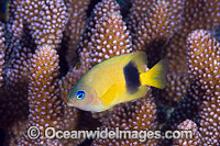 Damselfish Christmas Island Photo - Gary Bell