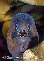 Masked Moray Christmas Island photo