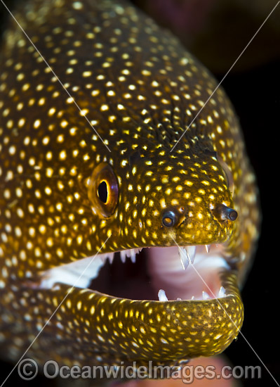 White-mouth Moray (Gymnothorax meleagris). Found throughout the Indo-West Pacific, including the Great Barrier Reef, Australia. Photo taken at Christmas Island, Australia.