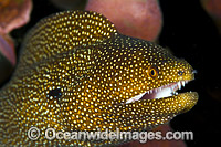 White-mouth Moray Christmas Island photo