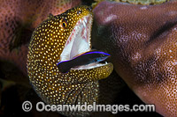 Moray cleaned by Wrasse Christmas Island photo