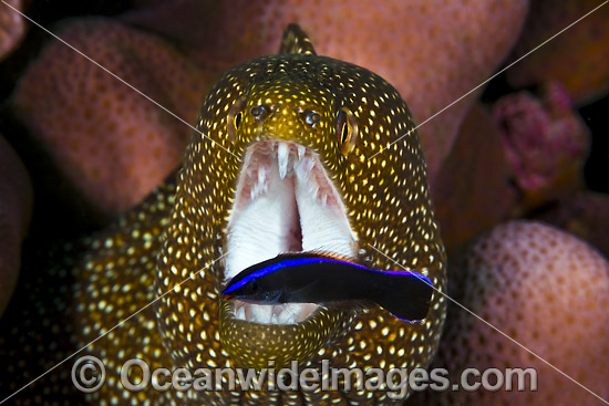 White-mouth Moray (Gymnothorax meleagris), being cleaned by a juvenile Cleaner Wrasse (Labroides sp.). Found in Indo-West Pacific, including the Great Barrier Reef, Australia. Photo taken at Christmas Island, Australia. Photo - Gary Bell