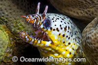Dragon Moray Christmas Island photo