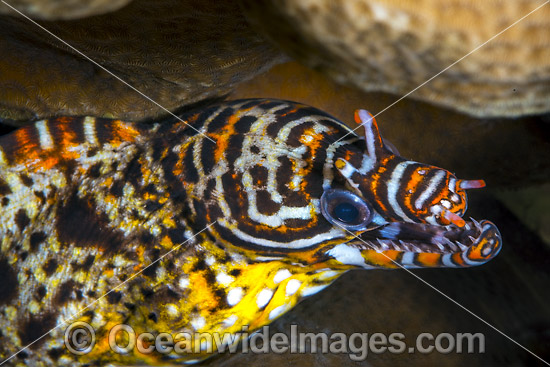 Dragon Moray (Enchelycore pardalis). Found in Indo-Pacific from Reunion to Hawaiian, Line and Society Islands, to southern Japan, southern Korea, and New Caledonia. Photo taken at Christmas Island, Australia.
