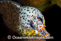 Dragon Moray Enchelycore pardalis photo