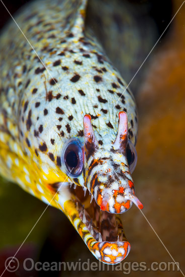 Dragon Moray (Enchelycore pardalis). Found in Indo-Pacific from Reunion to Hawaiian, Line and Society Islands, to southern Japan, southern Korea, and New Caledonia. Photo taken at Christmas Island, Australia. Photo - Gary Bell