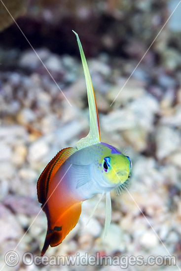 Red Fire Goby Christmas Island photo