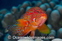 Coral Grouper Christmas Island photo