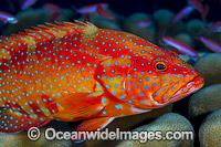 Coral Grouper (Cephalopholis miniata). Also known as Coral Rock Cod and Coral Cod. Found throughout the Indo-West Pacific, including Great Barrier Reef, Australia. Photo taken at Christmas Island, Australia. Photo: Gary Bell
