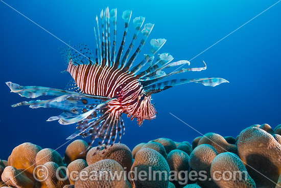 Common Lionfish (Pterois volitans). Also known as Firefish. Found throughout the Indo-West Pacific, including the Great Barrier Reef, Australia. Photo taken at Christmas Island, Australia.