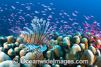 Lionfish and coral reef Christmas Island photo