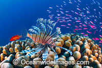 Lionfish and coral reef Christmas Island Photo - Gary Bell