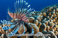 Lionfish Christmas Island Photo - Gary Bell