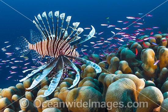 Lionfish Christmas Island photo