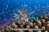 Lionfish hunting basslets Photo - Gary Bell