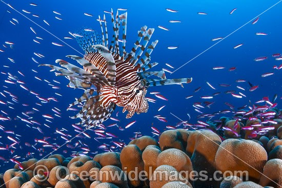 Common Lionfish (Pterois volitans), hunting schooling Basslets. Found throughout the Indo-West Pacific, including the Great Barrier Reef, Australia. Photo taken at Christmas Island, Australia.