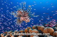 Lionfish and basslets Photo - Gary Bell
