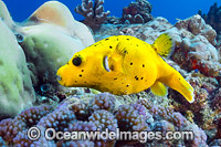 Black-spotted Pufferfish Photo - Gary Bell
