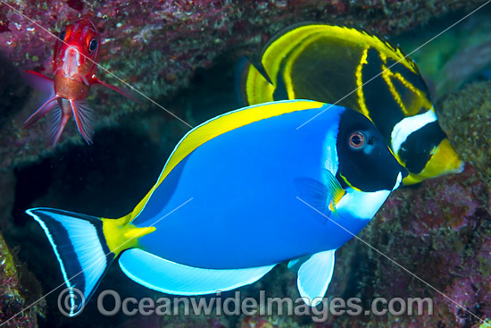 Powderblue Surgeonfish (Acanthurus leucosternon). Also known as Powder Blue Tang. Found in Indian Ocean from East Africa to Sumatra, Bali and Christmas Island. Photo taken at Christmas Island, Australia. Photo - Gary Bell
