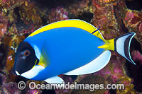 Powderblue Surgeonfish Acanthurus leucosternon Photo - Gary Bell