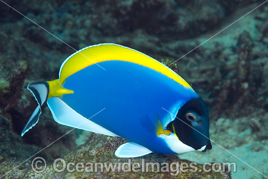 Powderblue Surgeonfish (Acanthurus leucosternon). Also known as Powder Blue Tang. Found in Indian Ocean from East Africa to Sumatra, Bali and Christmas Island. Photo taken at Christmas Island, Australia.
