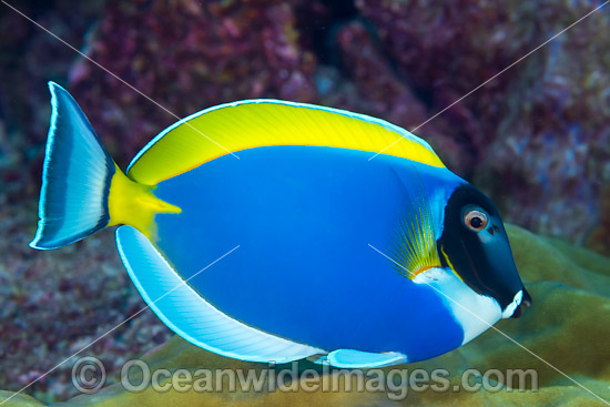 Powderblue Surgeonfish Christmas Island photo