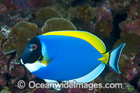 Powder blue Tang Acanthurus leucosternon Photo - Gary Bell
