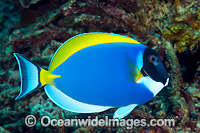 Powderblue Surgeonfish Christmas Island Photo - Gary Bell