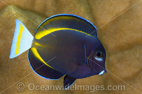 Velvet Surgeonfish (Acanthurus nigricans). Found throughout the Indo-West Pacific, including the Great Barrier Reef, Australia. Photo taken at Christmas Island, Australia.