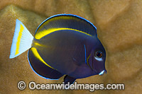 Velvet Surgeonfish Christmas Island photo