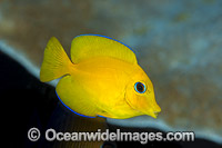 Yelloweye Bristletooth Surgeonfish Photo - Gary Bell