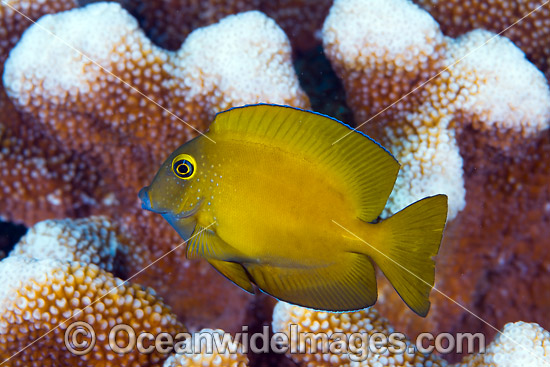Yelloweye Bristletooth Surgeonfish (Ctenochaetus truncatus), juvenile. Found from East Africa to Andaman Sea and Christmas Island. Photo taken at Christmas Island, Australia. Photo - Gary Bell