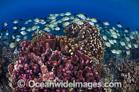 Fish and Coral Christmas Island Photo - Gary Bell