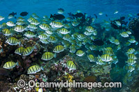 Schooling Surgeonfish Christmas Island photo