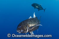 Black Trevally Caranx lugubris photo