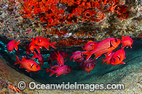 Crimson Soldierfish Christmas Island photo