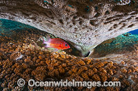 Whitetail Squirrelfish Christmas Island photo