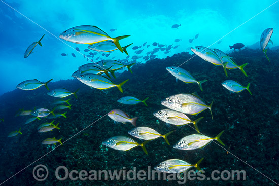 Schooling Silver Trevally (Pseudocaranx dentex). Photo was taken in the Solitary Islands Marine Sanctuary near Coffs Harbour NSW Australia.
