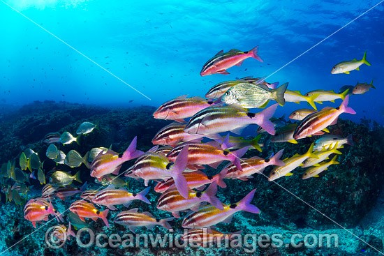 Black-spot Goatfish (Parupeneus signatus), schooling with Yellow Goatfish and Tarwhine or Silver Bream. Photo was taken in the Solitary Islands Marine Sanctuary, near Coffs Harbour, NSW, Australia.