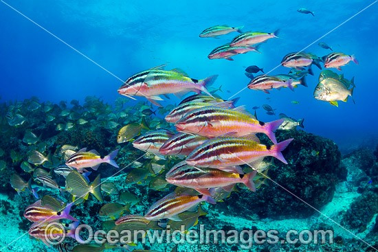 Goatfish Tarwhine and Bream photo