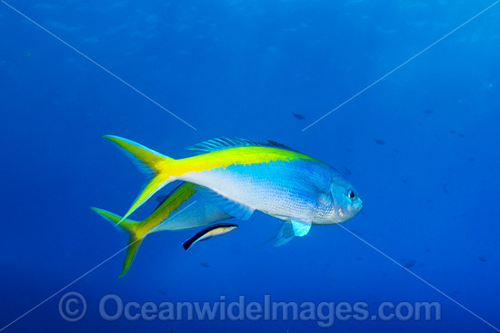 Fusilier cleaned by Wrasse photo