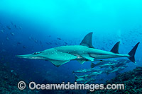 White-spotted Guitarfish photo